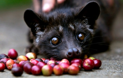 A four month old Luwak is tempted by some red coffee beans. Image source - https://www.google.lk/url?sa=i&rct=j&q=&esrc=s&source=images&cd=&cad=rja&uact=8&docid=pA-9udfdofRunM&tbnid=0jadZevwd5bSNM:&ved=0CAQQjB0&url=http%3A%2F%2Fcatpoopcoffeeinc.com%2Fwhat-is-kopi-luwak-coffee%2F&ei=CtPjU_jQA8ve8AXJ-oHgCw&bvm=bv.72676100,d.dGc&psig=AFQjCNGiANVQk8o3UaCOferBUUfNpvjIvw&ust=1407525868315303